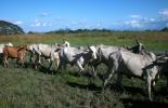 Con este programa, los ganaderos mejorarán la alimentación y salud de los bovinos. Foto: Archivo.