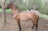 Robo de caballos