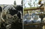 Empresario de Antioquia, precio de ganado puro, producción de ganado puro, precios estables, machos flacos pequeños a la baja, recién nacidos de raza Holstein en declive, oferta y la demanda, CONtexto ganadero, noticias de ganadería colombiana.