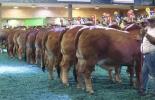 Feria Nacional Cebú, asistencia de visitantes, ganaderos, Bucaramanga, campeones y campeonas, gran reservado, mejores criadores, CONtexto ganadero, noticias de ganadería colombiana.