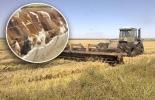 Ganaderos usan soca de arroz, suplemento alimenticio, poder nutritivo para bovinos, almacenamiento de comida, pacas de 15 kilos, conservación de comida, silos de maíz y palmiste, harina de arroz, CONtexto ganadero, noticias de ganadería colombiana.