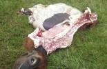 Ausencia de plantas de sacrificio en el Cesar, sacrificio clandestino, carneo de bovinos, control al contrabando, Ley de Abigeato, CONtexto ganadero, noticias de ganadería colombiana.