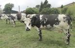 Disminución del hato bovino, Valle de Ubaté, bajos precios del ganado, plazas con bajos precios, compradores de ganado, aprovechan situación de pequeños productores, compran a bajos precios, necesidades de los ganaderos, llevan ganado a otras regiones, CONtexto ganadero, noticias de ganadería colombiana.