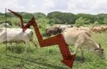 Hurto de ganado disminuyó en 73 % en el Cesar, patrullajes nocturnos, Policía Nacional, Dicar, operativos de control de camiones cargados con bovinos, incautaciones, acceso a Sigma-ICA, captura de personas relacionadas con hurto de ganado, CONtexto ganadero, noticias de ganadería colombiana.