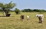 Escasez de ganado en Córdoba dispara precio, Sucre registra aumento de precios, demanda de ceba se dispara, productores abandonan la cría, aumento continuo de precios, observatorio de precios de la Universidad de Córdoba, IPPG aumenta en todas las categorías de animales, contrarrestaría exportaciones de ganado, CONtexto ganadero, noticias de ganadería colombiana.
