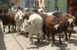 registro del predio en el ICA, ganaderos de Pensilvania, ganadería de Pensilvania, alcaldía de Pensilvania, Formalización del sector ganadero