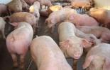 sacrificio clandestino, sacrificio ilegal de cerdos en Florencia, comercio de carne de cerdo en Florencia, fiestas de San Pedro y San Pablo, Cofema, ganaderos de Florencia