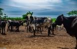 ganadería, ganadería colombia, noticias ganaderas, noticias ganaderas colombia, contexto ganadero, megaleche, leche atlántico, lechería atlántico, gobernación del atlántico, secretaría de desarrollo económico del atlántico, lechería colombia,
