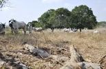 invierno en el Bajo Magdalena, lluvias afectan a ganaderos de El Bajo, ganaderos de El Bajo, cambio climático en la ganadería, ganaderos afectados con el cambio climático, ganaderos se enfrentan al cambio climático, veranos más fuertes,