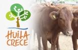 Huila, plan de desarrollo, ganaderos, carne, leche, metas priorizadas, asociatividad, productividad, Competitividad, Ganadería, ganadería colombia, noticias ganaderas colombia, CONtexto ganadero