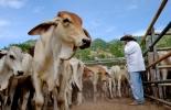 Ganadería, ganadería colombia, noticias ganaderas, noticias ganaderas colombia, CONtexto ganadero, Meta, departamento del Meta, ganaderos del Meta, comercialización de ganado en el Meta, venta de ganado en el meta, expectativas 2021 en el Meta, capacitaciones productores en el Meta, formación de productores en el Meta