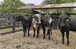 ganadería, ganadería colombia, noticias ganaderas, noticias ganaderas colombia, contexto ganadero, queso, queso arauca, leche, leche arauca, producción de leche en arauca, ganaderos de arauca, agencia de noticias UN,