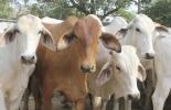 Ganadería, ganadería colombia, noticias ganaderas, noticias ganaderas colombia, CONtexto ganadero, Meta, departamento del Meta, ganaderos del Meta, exportaciones, precios del ganado en meta, exportaciones de carne en Colombia, consecuencia exportaciones de carne en colombia, alza de precios ganado en meta