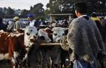 ganadería, ganadería colombia, noticias ganaderas, noticias ganaderas colombia, contexto ganadero, plaza de ferias, ferias de ganado, plaza de ferias de zipaquirá, zipaquirá, venta de ganado en plazas de ferias,