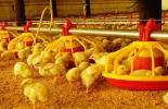 Sector avícola contará con planta en Quindío.