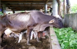 Botón de oro y hierba de guinea, opciones para nutritiva alimentación en bovinos.