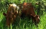 ganadería del cauca