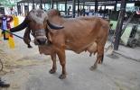 Serán 25 animales los que harán parte del concurso de ordeño, los cuales están en la capacidad de producir más de 25 litros de leche y pertenecen a 6 ganaderías