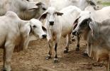 En total, 2 toros, 5 terneros y 4 terneras fueron afectados por esta enfermedad. Foto: Ica.
