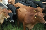 Identificación bovina, Sinigán.