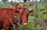El ganado de raza colombiana es tolerante a diversas enfermedades y parásitos
