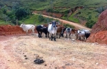 La ganadería es una de las actividades más afectadas por la falta de vías en la zona.