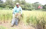 Agricultores arroceros tienen deudas con el Banco Agrario desde 2010