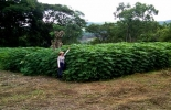 Semillas forrajeras de yuca