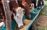 Los ganaderos encuentran suplementos alimenticios como melaza, heno, Mezclagán y sal mineralizada. Foto: Archivo.