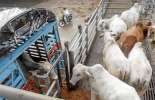 trámites para exportar ganado
