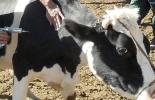 Vacuna a ganado bovino