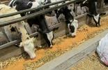 En el evento se mostrará la eficiencia en la producción de forraje de excelente calidad y su conversión a litros de leche. Foto: Archivo.