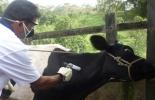 Ganaderos optan por no vacunar a los animales en desnutrición por temor a perderlos