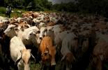 ICA, censo bovino 2018, Cuenta Nacional de Carne y Leche (CNCL), Brucelosis Bovina, Ganadería, Ganadería colombiana, noticias ganaderas, noticias ganaderas colombia, CONtexto ganadero