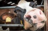 España, Asturias, leche, reconversión láctea, renovarse, invertir, implementar genética, egión tiene ahora menos granjas, menos vacas lecheras, contexto ganadero, noticias ganaderas, vacas