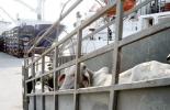 Retraso de exportaciones a Egipto, no se concretan negociaciones, interés de Egipto de comprar animales, cambio de estatus sanitario ante OIE, Expoganados Internacional S.A.S., CONtexto ganadero, noticias de ganadería colombiana.