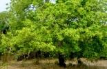 árbol Lecythis Minor, 'Olla del mono', rio Magdalena, nuez, aceite, industria cosmética, antienvejecimiento, selenio, proyecto 'Magdalena River Nuts', GRUPO PROCHEM, embajada, Suiza en Colombia, Cooperación Económica y Desarrollo (SECO), Fundación Suiza de Cooperación para el Desarrollo (SWISSCONTACT), desarrollo de las comunidades, protección de la biodiversidad, Suministro de ingredientes derivados de la nuez, CONtexto ganadero, noticias ganaderas, agricultura, economía