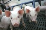 sector porcícola, Sector porcícola de Colombia, visita de Estado a China, exportacón de cerdo colombiano a China, porkcolombia