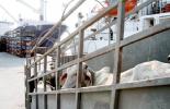 Exportaciones de ganado en pie se triplican, primer semestre de 2019 y 2020, alianza público-privada entre el ICA y Fedegán-FNG, lucha por la sanidad animal, credibilidad en el ganado colombiano, recuperación del estatus, certificación OIE, reapertura de mercados, constante y creciente demanda, destino del lejano oriente, Líbano e Irak, Egipto y Jordania, noticias de ganadería colombiana, CONtexto ganadero.