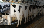 leche, lechería, Competitividad, Costos de Producción, Asojersey, Asoholstein, Asoganorte, ganadería de leche, flujo de caja, alimentación, importaciones, precios, alimento concentrado, suplementación, mano de obra, fertilizantes, industria, Ganadería, ganadería colombia, noticias ganaderas colombia, CONtexto ganadero