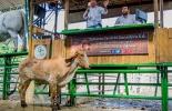 precio del ganado, precio del ganado en colombia, ganado colombia, precio ganado gordo, precio ganado flaco, precio hembras, precio bovinos, precio bovinos colombia, Bolsa Mercantil de Colombia, subastas, subastas colombia, Asosubastas, Ganadería, ganadería colombia, noticias ganaderas, noticias ganaderas colombia, CONtexto ganadero, subastas virtuales de ganado en colombia, Opca, precios opca, precios opca mayo, Ómar Castillo Núñez