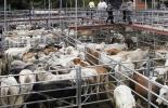 sacrificio 2021, Cifras sacrificio ganado bovino enero 2021, Sacrificio de ganado 2021, sacrificio bovino 2021, sacrificio enero 2021, cifras sacrificio, sacrificio legal de bovinos, sacrificio formal, sacrificio colombia, sacrificio bovino Colombia, encuesta sacrificio ganado 2021, Cifras sacrificio bovino Colombia 2021, sacrificio bovino Colombia 2021, ganaderos, ganaderos colombia, ganado, bovinos, ganado bovino, Ganadería, ganadería colombia, noticias ganaderas, noticias ganaderas colombia, CONtexto gan