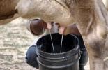 Ganadería, ganadería colombia, noticias ganaderas, noticias ganaderas colombia, CONtexto ganadero, Opca, precio de la leche, precio de la leche en córdoba, precio de la leche en sucre, precio de la leche en colombia, leche acopiada en colombia, cantidad de leche acopiada en colombia