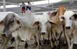 sacrificio 2021, sacrificio bovino 2021, sacrificio julio 2021, sacrificio ganado Colombia julio 2021, Cifras sacrificio ganado bovino 2021, Sacrificio de ganado 2021, cifras sacrificio, sacrificio legal de bovinos, sacrificio colombia, sacrificio bovino Colombia, encuesta sacrificio ganado 2021, ganado bovino, ganadería bovina, carne, leche, ganaderos, ganaderos colombia, ganado, vacas, vacas Colombia, bovinos, Ganadería, ganadería colombia, noticias ganaderas, noticias ganaderas colombia, CONtexto ganader
