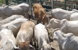 exportaciones carne 2021, exportaciones carne agosto 2021, exportaciones carne, exportaciones carne Colombia 2021, Exportación carne 2021, exportación de bovinos Colombia, exportación carne bovina, carne vacuna, total exportaciones carne Colombia, ganado bovino, ganadería bovina, ganaderos, ganaderos colombia, ganado, vacas, vacas Colombia, bovinos, Ganadería, ganadería colombia, noticias ganaderas, noticias ganaderas colombia, CONtexto ganadero, contextoganadero