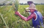 arroceros sequía Colombia