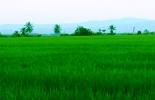 producción arroz Colombia