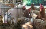 Dian incumple devoluciones del IVA a avicultores y porcícultores