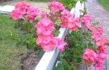 Flores de Colombia para San Valentin.jpg