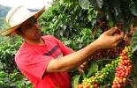 producción café colombia